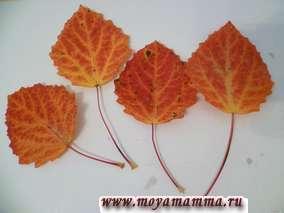 Использовано 4 красно-желтых осиновых листа.