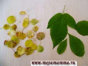 """Поделка """"Виноград"""". Использованы маленькие круглой формы листочки ранеток и большие зеленые листья."""