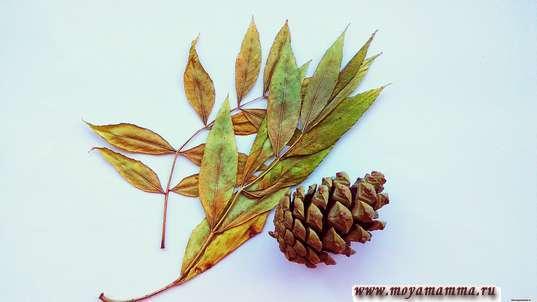 Шишка и листья рябины